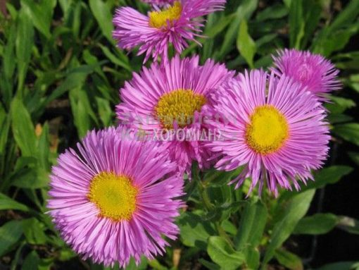 ERIGERON KARMINSTRAHL (ΕΡΙΓΕΡΟ), Ποώδη| Φυτώρια/Γεωπονικές Επιχειρήσεις Χορομίδης: γλάστρες, φυτά, καρποφόρα, αειθαλή, φυτοχώματα, λιπάσματα, εργαλεία και είδη κήπου | Horomidis Agronomic Corp. Flower pots, plants, garden utensils and supplies, evergreens, fruit trees, fertilizer, soil