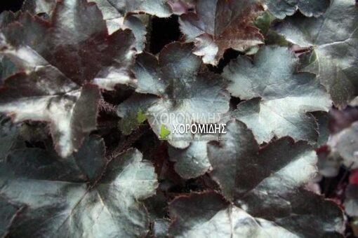 HEUCHERA BLACKOUT (ΕΟΥΧΕΡΑ) Ποώδη| Φυτώρια/Γεωπονικές Επιχειρήσεις Χορομίδης: γλάστρες, φυτά, καρποφόρα, αειθαλή, φυτοχώματα, λιπάσματα, εργαλεία και είδη κήπου | Horomidis Agronomic Corp. Flower pots, plants, garden utensils and supplies, evergreens, fruit trees, fertilizer, soil