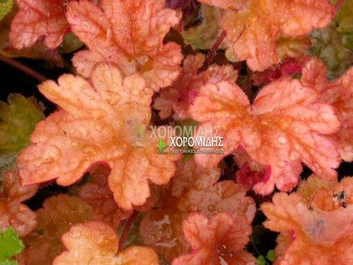 HEUCHERA PEACH FLAMBE (ΕΟΥΧΕΡΑ) Ποώδη| Φυτώρια/Γεωπονικές Επιχειρήσεις Χορομίδης: γλάστρες, φυτά, καρποφόρα, αειθαλή, φυτοχώματα, λιπάσματα, εργαλεία και είδη κήπου | Horomidis Agronomic Corp. Flower pots, plants, garden utensils and supplies, evergreens, fruit trees, fertilizer, soil