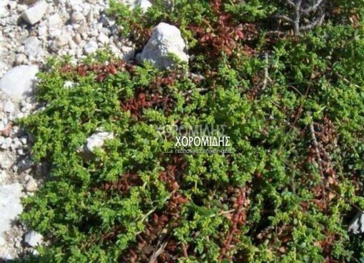 HERNIARA GLABRA (ΕΡΝΑΡΙΑ) Ποώδη| Φυτώρια/Γεωπονικές Επιχειρήσεις Χορομίδης: γλάστρες, φυτά, καρποφόρα, αειθαλή, φυτοχώματα, λιπάσματα, εργαλεία και είδη κήπου | Horomidis Agronomic Corp. Flower pots, plants, garden utensils and supplies, evergreens, fruit trees, fertilizer, soil