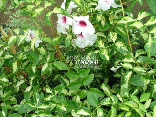 PANDOREA JASMINOIDES H BIGNONIA JASMINOIDES(ΠΑΝΔΩΡΕΑ), Καρποφόρο δέντρο | Φυτώρια/Γεωπονικές Επιχειρήσεις Χορομίδης: γλάστρες, φυτά, καρποφόρα, αειθαλή, φυτοχώματα, λιπάσματα, εργαλεία και είδη κήπου | Horomidis Agronomic Corp. Flower pots, plants, garden utensils and supplies, evergreens, fruit trees, fertilizer, soil
