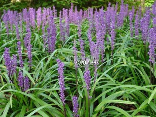 LIRIOPE MUSCARI (ΛΙΡΙΟΠΙ) Ποώδη| Φυτώρια/Γεωπονικές Επιχειρήσεις Χορομίδης: γλάστρες, φυτά, καρποφόρα, αειθαλή, φυτοχώματα, λιπάσματα, εργαλεία και είδη κήπου | Horomidis Agronomic Corp. Flower pots, plants, garden utensils and supplies, evergreens, fruit trees, fertilizer, soil