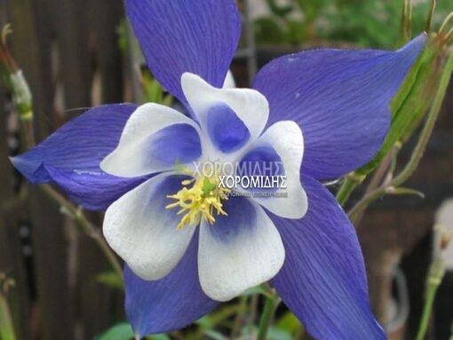 AQUILERGIA BLUE STAR (ΑΚΟΥΛΕΓΚΙΑ), Ποώδη| Φυτώρια/Γεωπονικές Επιχειρήσεις Χορομίδης: γλάστρες, φυτά, καρποφόρα, αειθαλή, φυτοχώματα, λιπάσματα, εργαλεία και είδη κήπου | Horomidis Agronomic Corp. Flower pots, plants, garden utensils and supplies, evergreens, fruit trees, fertilizer, soil