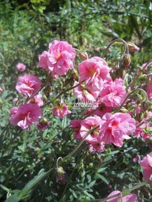 HELIANTHEMUM ANNABEL (ΗΛΙΑΝΘΕΜΟ) Ποώδη| Φυτώρια/Γεωπονικές Επιχειρήσεις Χορομίδης: γλάστρες, φυτά, καρποφόρα, αειθαλή, φυτοχώματα, λιπάσματα, εργαλεία και είδη κήπου | Horomidis Agronomic Corp. Flower pots, plants, garden utensils and supplies, evergreens, fruit trees, fertilizer, soil