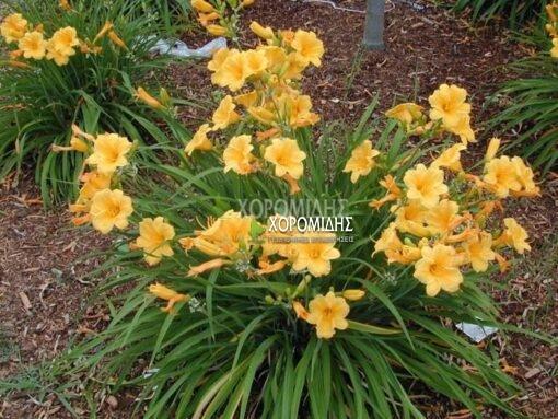 HEMEROCALLIS STELLA DE ORO (ημεροκαλλίς) Ποώδη| Φυτώρια/Γεωπονικές Επιχειρήσεις Χορομίδης: γλάστρες, φυτά, καρποφόρα, αειθαλή, φυτοχώματα, λιπάσματα, εργαλεία και είδη κήπου | Horomidis Agronomic Corp. Flower pots, plants, garden utensils and supplies, evergreens, fruit trees, fertilizer, soil