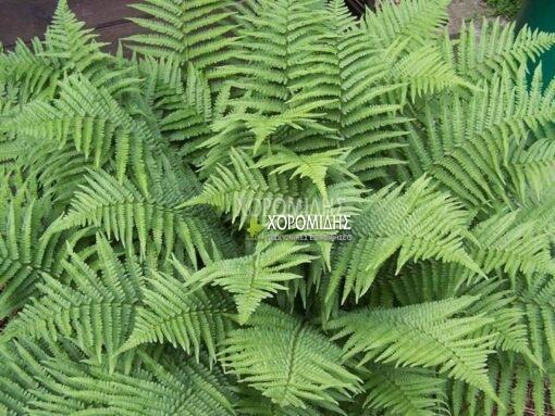 DRYOPTERIS FILIX- MAS (ΦΤΕΡΗ- ΔΡΥΟΠΤΕΡΙΣ) Φυτώρια/Γεωπονικές Επιχειρήσεις Χορομίδης: γλάστρες, φυτά, καρποφόρα, αειθαλή, φυτοχώματα, λιπάσματα, εργαλεία και είδη κήπου | Horomidis Agronomic Corp. Flower pots, plants, garden utensils and supplies, evergreens, fruit trees, fertilizer, soil