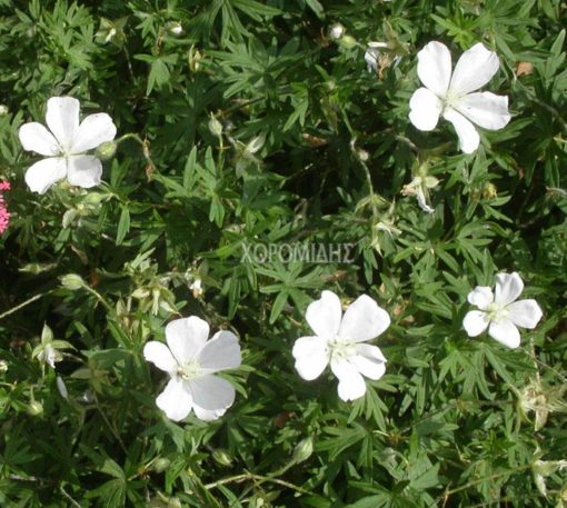 GERANIUM SANGUINEUM ALBUM (ΓΕΡΑΝΙΟ) Ποώδη| Φυτώρια/Γεωπονικές Επιχειρήσεις Χορομίδης: γλάστρες, φυτά, καρποφόρα, αειθαλή, φυτοχώματα, λιπάσματα, εργαλεία και είδη κήπου | Horomidis Agronomic Corp. Flower pots, plants, garden utensils and supplies, evergreens, fruit trees, fertilizer, soil