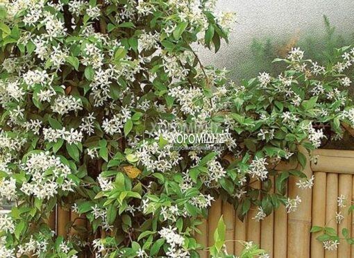 RHYNCHOSPERMUM JASMINOIDES (ΡΥΓΧΟΣΠΕΡΜΑ), Καρποφόρο δέντρο | Φυτώρια/Γεωπονικές Επιχειρήσεις Χορομίδης: γλάστρες, φυτά, καρποφόρα, αειθαλή, φυτοχώματα, λιπάσματα, εργαλεία και είδη κήπου | Horomidis Agronomic Corp. Flower pots, plants, garden utensils and supplies, evergreens, fruit trees, fertilizer, soil