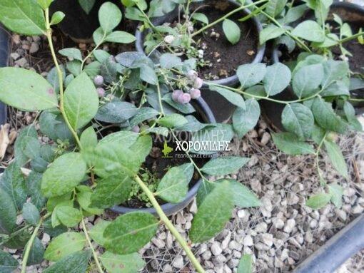 Blueberry, vaccinium myrtillus, μύρτιλλο, φαρμακευτικό, Καρποφόρο δέντρο | Φυτώρια/Γεωπονικές Επιχειρήσεις Χορομίδης: γλάστρες, φυτά, καρποφόρα, αειθαλή, φυτοχώματα, λιπάσματα, εργαλεία και είδη κήπου | Horomidis Agronomic Corp. Flower pots, plants, garden utensils and supplies, evergreens, fruit trees, fertilizer, soil