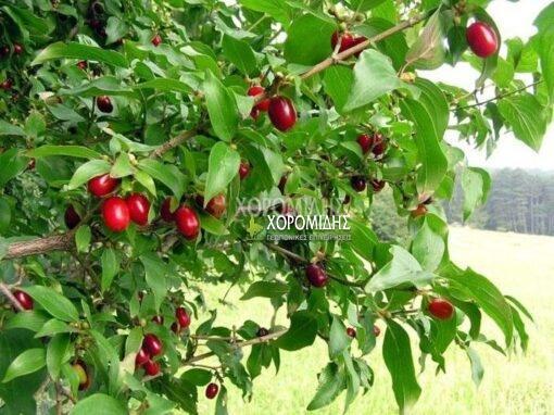 Cornus mas, κρανιά, φαρμακευτικό, Καρποφόρο δέντρο | Φυτώρια/Γεωπονικές Επιχειρήσεις Χορομίδης: γλάστρες, φυτά, καρποφόρα, αειθαλή, φυτοχώματα, λιπάσματα, εργαλεία και είδη κήπου | Horomidis Agronomic Corp. Flower pots, plants, garden utensils and supplies, evergreens, fruit trees, fertilizer, soil