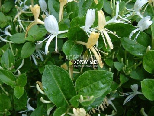 LONICERA JAPONICA(ΑΓΙΟΚΛΗΜΑ), Καρποφόρο δέντρο   Φυτώρια/Γεωπονικές Επιχειρήσεις Χορομίδης: γλάστρες, φυτά, καρποφόρα, αειθαλή, φυτοχώματα, λιπάσματα, εργαλεία και είδη κήπου   Horomidis Agronomic Corp. Flower pots, plants, garden utensils and supplies, evergreens, fruit trees, fertilizer, soil