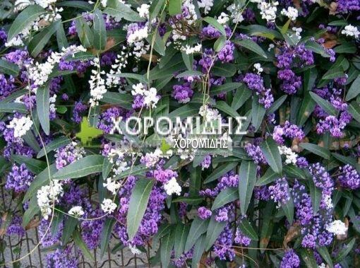 HARDENBERGIA VIOLACEA(ΧΑΝΤΕΝΜΠΕΡΓΚΙΑ), Καρποφόρο δέντρο | Φυτώρια/Γεωπονικές Επιχειρήσεις Χορομίδης: γλάστρες, φυτά, καρποφόρα, αειθαλή, φυτοχώματα, λιπάσματα, εργαλεία και είδη κήπου | Horomidis Agronomic Corp. Flower pots, plants, garden utensils and supplies, evergreens, fruit trees, fertilizer, soil