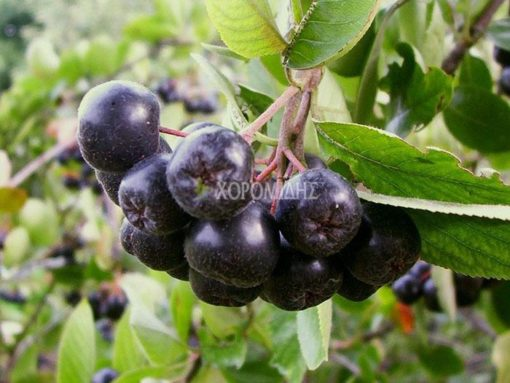 Aronia melanocarpa, αρόνια, φαρμακευτικό, Καρποφόρο δέντρο | Φυτώρια/Γεωπονικές Επιχειρήσεις Χορομίδης: γλάστρες, φυτά, καρποφόρα, αειθαλή, φυτοχώματα, λιπάσματα, εργαλεία και είδη κήπου | Horomidis Agronomic Corp. Flower pots, plants, garden utensils and supplies, evergreens, fruit trees, fertilizer, soil
