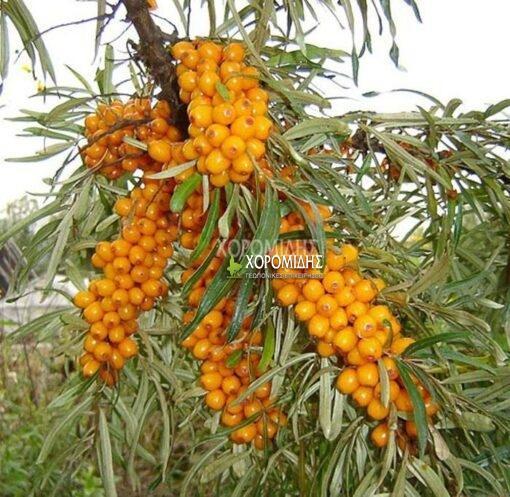 Hippophaes rhamnoides, ιπποφαές, φαρμακευτικό, Καρποφόρο δέντρο | Φυτώρια/Γεωπονικές Επιχειρήσεις Χορομίδης: γλάστρες, φυτά, καρποφόρα, αειθαλή, φυτοχώματα, λιπάσματα, εργαλεία και είδη κήπου | Horomidis Agronomic Corp. Flower pots, plants, garden utensils and supplies, evergreens, fruit trees, fertilizer, soil