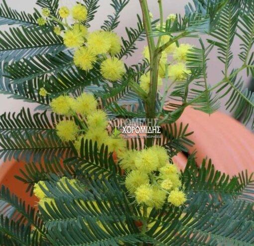 ACACIA DEALBATA (ΑΚΑΚΙΑ ΝΤΕΛΜΠΑΤΑ) Αειθαλή καλλωπιστικά δένδρα| Φυτώρια /Γεωπονικές Επιχειρήσεις Χορομίδης: γλάστρες, φυτά , καρποφόρα, αειθαλή, φυτοχώματα, λιπάσματα, εργαλεία και είδη κήπου | Horomidis Agronomic Corp. Flower pots, plants, garden utensils and supplies, evergreens, fruit trees, fertilizer, soil