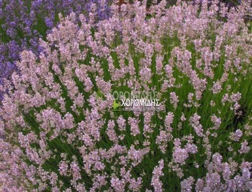 LAVANDULA ANGUSTIFOLIA ROSEA (ΛΕΒΑΝΤΑ ΡΟΖ) Αρωματικά | Φυτώρια /Γεωπονικές Επιχειρήσεις Χορομίδης: γλάστρες, φυτά , καρποφόρα, αειθαλή, φυτοχώματα, λιπάσματα, εργαλεία και είδη κήπου | Horomidis Agronomic Corp. Flower pots, plants, garden utensils and supplies, evergreens, fruit trees, fertilizer, soil