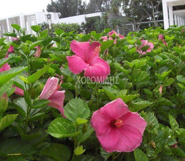 HIBISCUS SINENSIS (ΙΒΙΣΚΟΣ ΣΙΝΙΚΟΣ) Αειθαλής θάμνοι| Φυτώρια/Γεωπονικές Επιχειρήσεις Χορομίδης: γλάστρες, φυτά, καρποφόρα, αειθαλή, φυτοχώματα, λιπάσματα, εργαλεία και είδη κήπου | Horomidis Agronomic Corp. Flower pots, plants, garden utensils and supplies, evergreens, fruit trees, fertilizer, soil