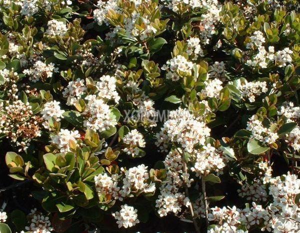 RHAPHIOLEPIS UMBELLATA (ΡΑΦΙΟΛΕΠΙΣ) Αειθαλής θάμνοι  Φυτώρια/Γεωπονικές Επιχειρήσεις Χορομίδης: γλάστρες, φυτά, καρποφόρα, αειθαλή, φυτοχώματα, λιπάσματα, εργαλεία και είδη κήπου   Horomidis Agronomic Corp. Flower pots, plants, garden utensils and supplies, evergreens, fruit trees, fertilizer, soil