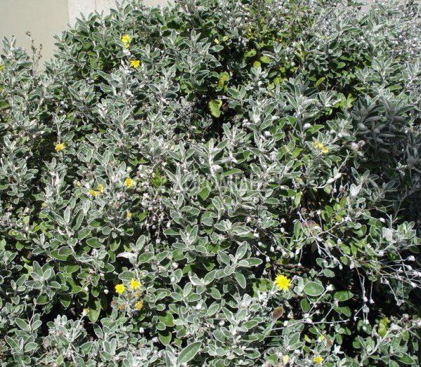 BRACHYCHITON PLATANIFOLIA-POPULNEUS (ΒΡΑΧΥΧΙΤΩΝ) Αειθαλή καλλωπιστικά δένδρα| Φυτώρια/Γεωπονικές Επιχειρήσεις Χορομίδης: γλάστρες, φυτά, καρποφόρα, αειθαλή, φυτοχώματα, λιπάσματα, εργαλεία και είδη κήπου | Horomidis Agronomic Corp. Flower pots, plants, garden utensils and supplies, evergreens, fruit trees, fertilizer, soil