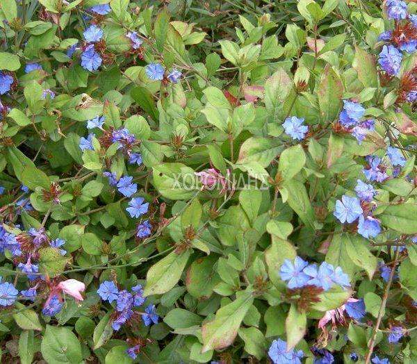 CERATOSTIGMA PLUMBAGINOIDES (ΚΕΡΑΤΟΣΤΙΓΜΑ), Ποώδη| Φυτώρια/Γεωπονικές Επιχειρήσεις Χορομίδης: γλάστρες, φυτά, καρποφόρα, αειθαλή, φυτοχώματα, λιπάσματα, εργαλεία και είδη κήπου | Horomidis Agronomic Corp. Flower pots, plants, garden utensils and supplies, evergreens, fruit trees, fertilizer, soil