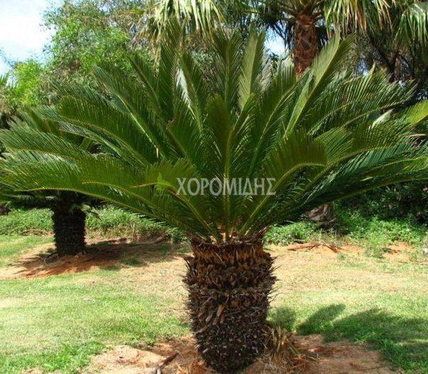 CYCAS REVOLUTA(ΤΣΙΚΑΣ), Καρποφόρο δέντρο | Φυτώρια/Γεωπονικές Επιχειρήσεις Χορομίδης: γλάστρες, φυτά, καρποφόρα, αειθαλή, φυτοχώματα, λιπάσματα, εργαλεία και είδη κήπου | Horomidis Agronomic Corp. Flower pots, plants, garden utensils and supplies, evergreens, fruit trees, fertilizer, soil
