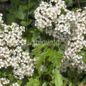 κράταιγος οξυάκανθα, crataegus oxyacantha, φαρμακευτικό, Καρποφόρο δέντρο   Φυτώρια/Γεωπονικές Επιχειρήσεις Χορομίδης: γλάστρες, φυτά, καρποφόρα, αειθαλή, φυτοχώματα, λιπάσματα, εργαλεία και είδη κήπου   Horomidis Agronomic Corp. Flower pots, plants, garden utensils and supplies, evergreens, fruit trees, fertilizer, soil