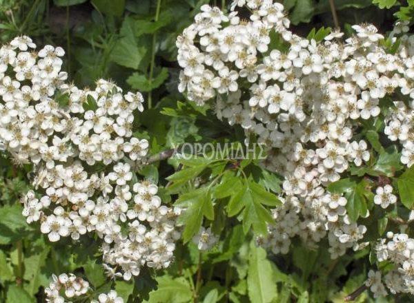 κράταιγος οξυάκανθα, crataegus oxyacantha, φαρμακευτικό, Καρποφόρο δέντρο | Φυτώρια/Γεωπονικές Επιχειρήσεις Χορομίδης: γλάστρες, φυτά, καρποφόρα, αειθαλή, φυτοχώματα, λιπάσματα, εργαλεία και είδη κήπου | Horomidis Agronomic Corp. Flower pots, plants, garden utensils and supplies, evergreens, fruit trees, fertilizer, soil