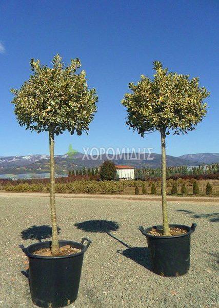 ILEX AQUIFOLIUM MEZZO FUSTO (ΙΛΕΞ Η ΓΚY 1/2 ΚΟΡΜΟΣ) Αειθαλής θάμνοι| Φυτώρια/Γεωπονικές Επιχειρήσεις Χορομίδης: γλάστρες, φυτά, καρποφόρα, αειθαλή, φυτοχώματα, λιπάσματα, εργαλεία και είδη κήπου | Horomidis Agronomic Corp. Flower pots, plants, garden utensils and supplies, evergreens, fruit trees, fertilizer, soil