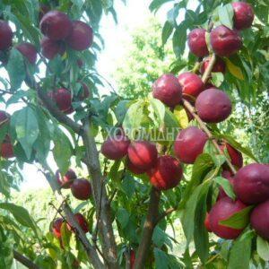 PRUNUS PERSICA NECTARINA(ΝΕΚΤΑΡΙΝΙΑ), Καρποφόρο δέντρο   Φυτώρια/Γεωπονικές Επιχειρήσεις Χορομίδης: γλάστρες, φυτά, καρποφόρα, αειθαλή, φυτοχώματα, λιπάσματα, εργαλεία και είδη κήπου   Horomidis Agronomic Corp. Flower pots, plants, garden utensils and supplies, evergreens, fruit trees, fertilizer, soil