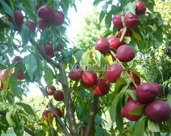 PRUNUS PERSICA NECTARINA(ΝΕΚΤΑΡΙΝΙΑ), Καρποφόρο δέντρο | Φυτώρια/Γεωπονικές Επιχειρήσεις Χορομίδης: γλάστρες, φυτά, καρποφόρα, αειθαλή, φυτοχώματα, λιπάσματα, εργαλεία και είδη κήπου | Horomidis Agronomic Corp. Flower pots, plants, garden utensils and supplies, evergreens, fruit trees, fertilizer, soil