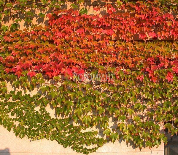 PARTHENOCISSUS TRICUSPIDATA(ΣΒΑΙΤΣ), Καρποφόρο δέντρο | Φυτώρια/Γεωπονικές Επιχειρήσεις Χορομίδης: γλάστρες, φυτά, καρποφόρα, αειθαλή, φυτοχώματα, λιπάσματα, εργαλεία και είδη κήπου | Horomidis Agronomic Corp. Flower pots, plants, garden utensils and supplies, evergreens, fruit trees, fertilizer, soil