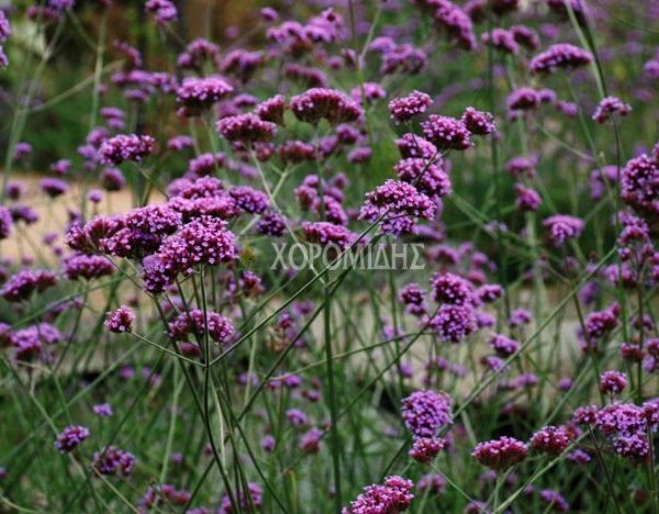 VERBENA BONARIENSIS (ΒΕΡΜΕΝΑ ΜΠΟΝΑΡΙΕΝΣΙΣ) Ποώδη| Φυτώρια/Γεωπονικές Επιχειρήσεις Χορομίδης: γλάστρες, φυτά, καρποφόρα, αειθαλή, φυτοχώματα, λιπάσματα, εργαλεία και είδη κήπου | Horomidis Agronomic Corp. Flower pots, plants, garden utensils and supplies, evergreens, fruit trees, fertilizer, soil