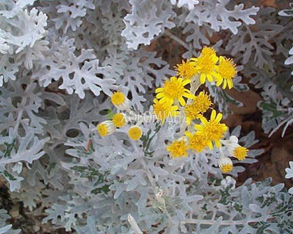 CINERARIA MARITIMA (ΣΙΝΕΡΑΡΙΑ), Ποώδη| Φυτώρια/Γεωπονικές Επιχειρήσεις Χορομίδης: γλάστρες, φυτά, καρποφόρα, αειθαλή, φυτοχώματα, λιπάσματα, εργαλεία και είδη κήπου | Horomidis Agronomic Corp. Flower pots, plants, garden utensils and supplies, evergreens, fruit trees, fertilizer, soil