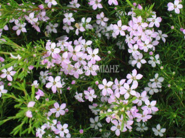 COLEONEMA PULCHRUM (ΚΟΛΕΟΝΗΜΑ) Αειθαλής θάμνοι  Φυτώρια/Γεωπονικές Επιχειρήσεις Χορομίδης: γλάστρες, φυτά, καρποφόρα, αειθαλή, φυτοχώματα, λιπάσματα, εργαλεία και είδη κήπου   Horomidis Agronomic Corp. Flower pots, plants, garden utensils and supplies, evergreens, fruit trees, fertilizer, soil
