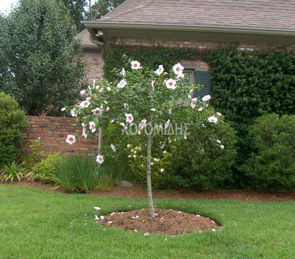 Hibiscus Syriacus Tree ιβισκοσ συριακοσ δενδρωδησ Horomidis