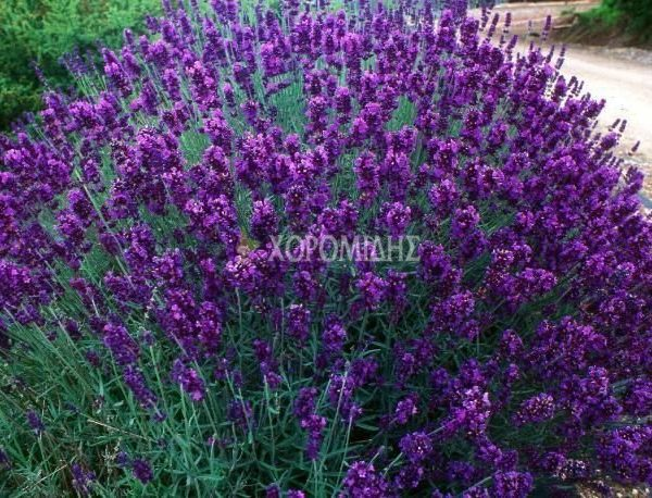 LAVANDULA ANGUSTIFOLIA HIDCOTE (ΛΕΒΑΝΤΑ) Αρωματικά | Φυτώρια /Γεωπονικές Επιχειρήσεις Χορομίδης: γλάστρες, φυτά , καρποφόρα, αειθαλή, φυτοχώματα, λιπάσματα, εργαλεία και είδη κήπου | Horomidis Agronomic Corp. Flower pots, plants, garden utensils and supplies, evergreens, fruit trees, fertilizer, soil