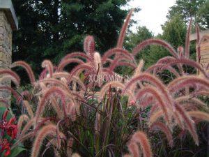 PENNISETUM ΟRIENTALE RUBRUM(ΠΕΝΙΣΕΤΟ), Καρποφόρο δέντρο | Φυτώρια/Γεωπονικές Επιχειρήσεις Χορομίδης: γλάστρες, φυτά, καρποφόρα, αειθαλή, φυτοχώματα, λιπάσματα, εργαλεία και είδη κήπου | Horomidis Agronomic Corp. Flower pots, plants, garden utensils and supplies, evergreens, fruit trees, fertilizer, soil